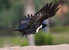 白颈鸦会说话?怎么养它?