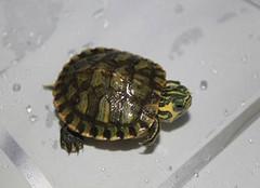 巴西彩龟应该这样养