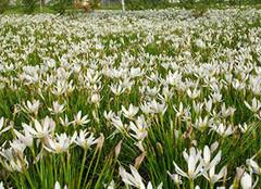 白花葱兰的种植方法介绍