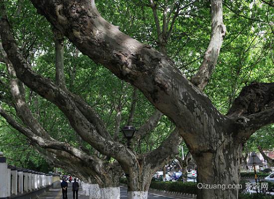 梧桐树的特点