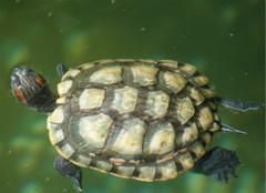 巴西龟的饲养技巧,你都清楚吗?