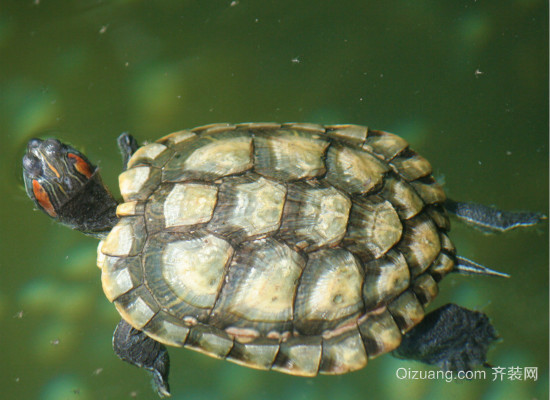 巴西龟的饲养