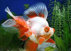 关于金鱼怎么养,你知道吗?