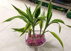 摆放在家里的植物是否可以选择水培富贵竹