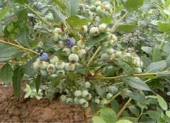 你知道越橘和蓝莓有哪些区别吗?