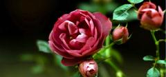 你知道野蔷薇的花语有哪些吗?
