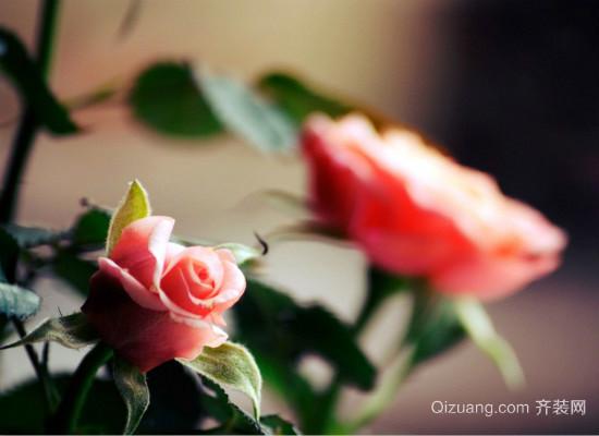 野蔷薇花语