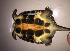 越南石龟怎么养?