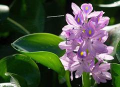 水葫芦的作用是什么?在家里如何养殖?