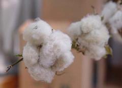 什么是有机棉?专家的鉴别方法