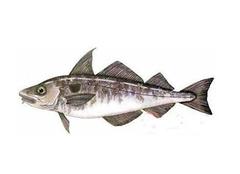 关于龙鳕鱼的购买和食用注意事项