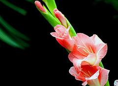 剑兰的生长环境 剑兰的花语