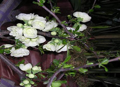 木瓜海棠  上好的绿化树种