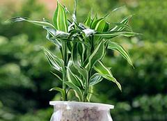 水养富贵竹怎么养?速速看过来