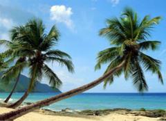 关于椰子树的资料 你都清楚吗?