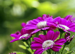 瓜叶菊的养殖方法 瓜叶菊的作用