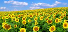 太阳花的象征意义是什么 又有何寓意?