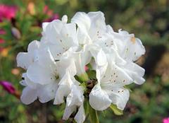 普及毛鹃的形态特征和种植方法