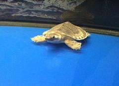 你知道猪鼻子龟是什么吗?
