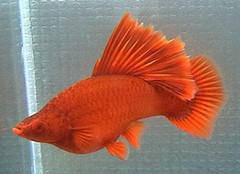 红箭鱼图片以及品种介绍