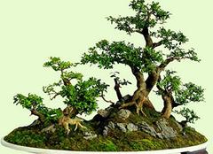 盆景艺术五大流派是哪些?分别有什么特色
