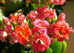 长寿花:馈赠亲友和长辈的理想盆花