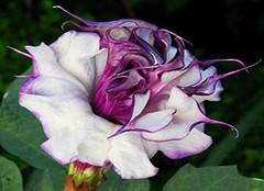 黑色曼陀罗:沙漠中被诅咒的花朵