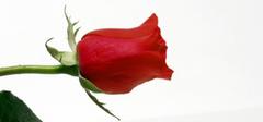 我爱你 就如那11朵玫瑰的含义