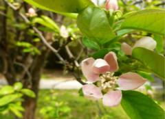 木瓜海棠:让你轻松入住自然家居
