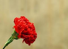 送一束红色康乃馨 为亲人带来祝福