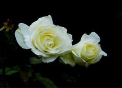 听说表达爱意只需要一朵月季花