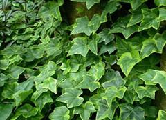 常春藤:天然的空气净化剂