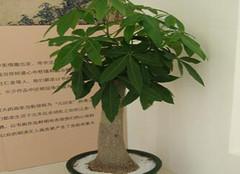 风水植物有禁忌  发财树这样摆凝气聚财