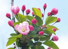 看完《大鱼海棠》的你 知道海棠花怎么养么?