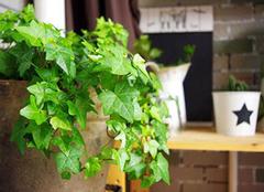 选好绿植 最大程度吸收甲醛、净化空气