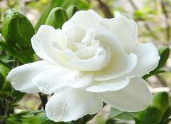 栀子花:永恒的爱与约定