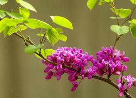 观赏与药用价值合二为一的紫荆花