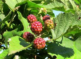 树梅营养价值高 栽培技术有讲究