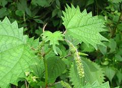 花色艳丽的蝎子草:家居养殖的上上之选