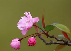 养殖垂丝海棠 用心呵护的美