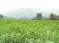 简述溪黄草的功效与副作用