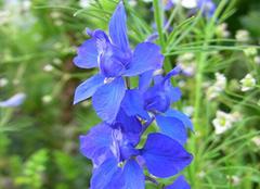 千鸟草:极易种植的自由之花