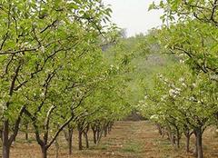 栽种黄花梨 树苗要选对