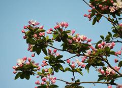 秋海棠:观赏与食用价值合一的相思草