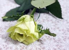 """绿玫瑰:怀揣美好祝福的""""天上之花"""""""
