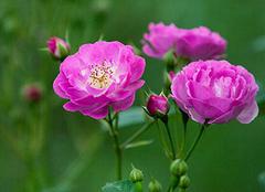 养殖蔷薇花 装扮小清新家居环境