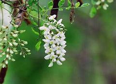 保健植物槐米的食疗方法
