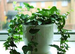新居异味刺鼻难除 绿色植物来排忧解难