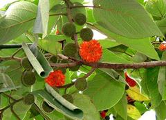 构树的养殖方法与功效大揭秘