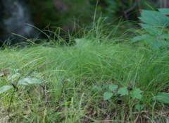 关于乌拉草的优点 你都造么?